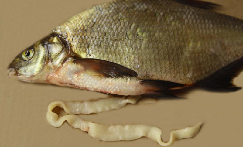 цестоды в рыбе