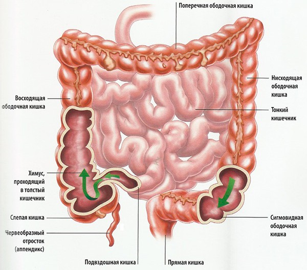 Толстый кишечник