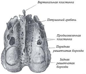 Строение решетчатой кости