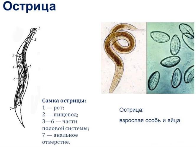 самка острицы