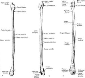 Данная кость является костным наружным стабилизатором голеностопного сустава