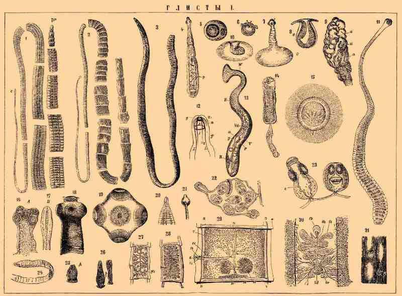 Разновидности глистов у человека, фото с названиями паразитов