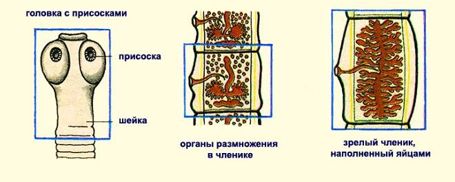 характеристики бычьего цепня