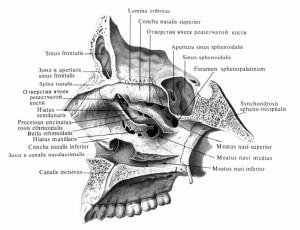 Формирование стенок черепной ямки, полости носа и глазниц