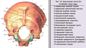 Задняя часть затылочной кости