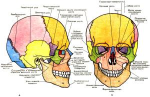 Череп: вид справа и спереди