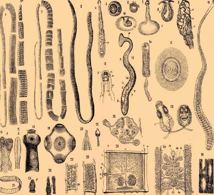 Формы паразитов - глистов