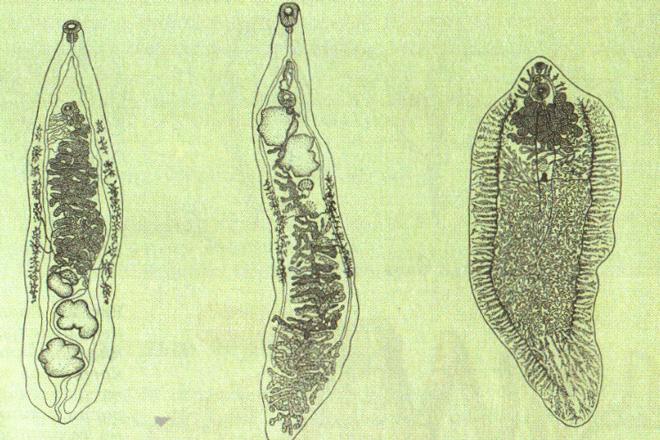 Сосальщики - опасные виды паразитов для человека