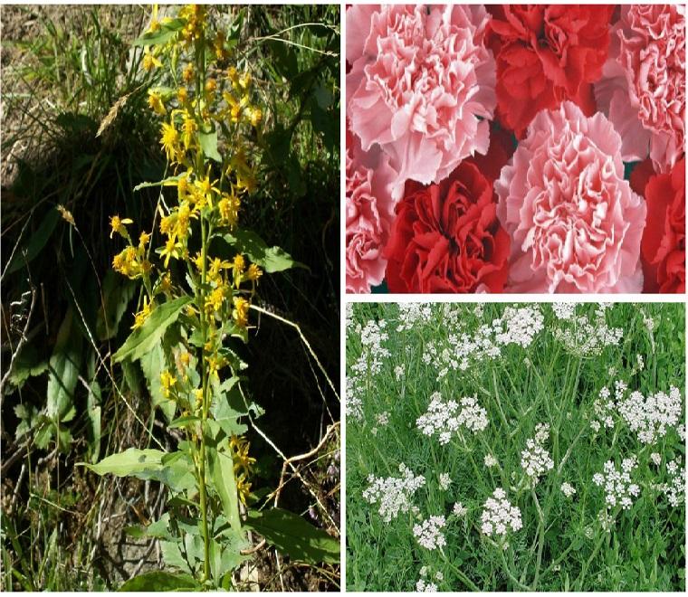 Растительные культуры для борьбы с аскаридами