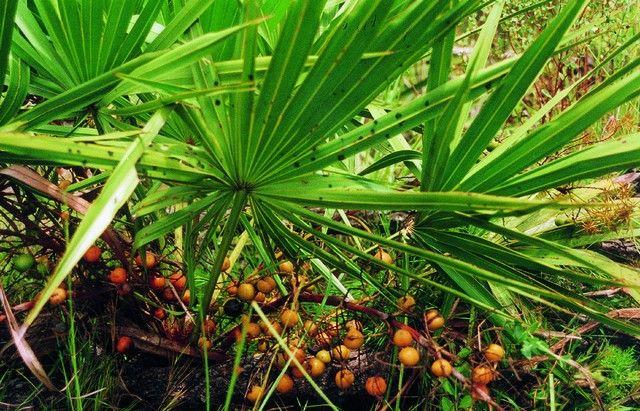 Экстракт пальмы (карликовой, сабаль, сереноа, ползучей)