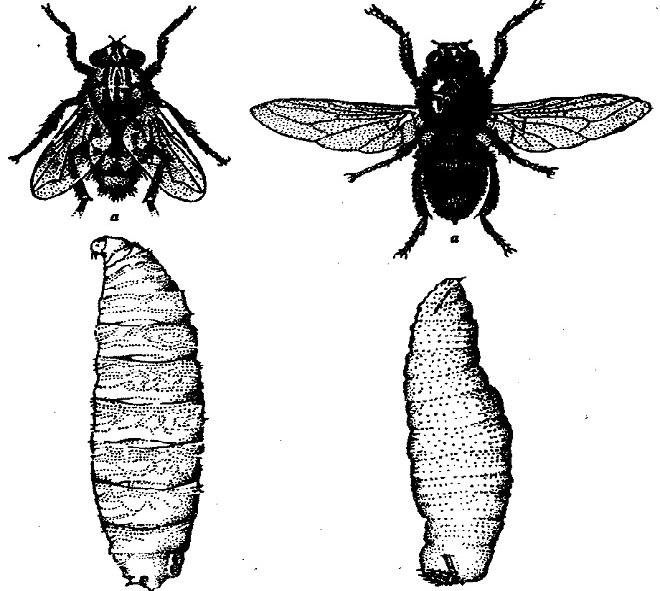 Вольфартовые мухи и их личинки - возбудители кожного миаза