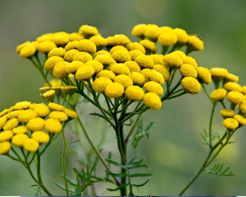 Растение против аскардиоза