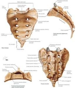 Строение костей крестца