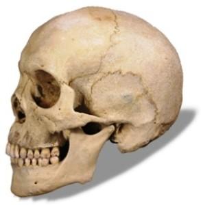 Скелет головы человека