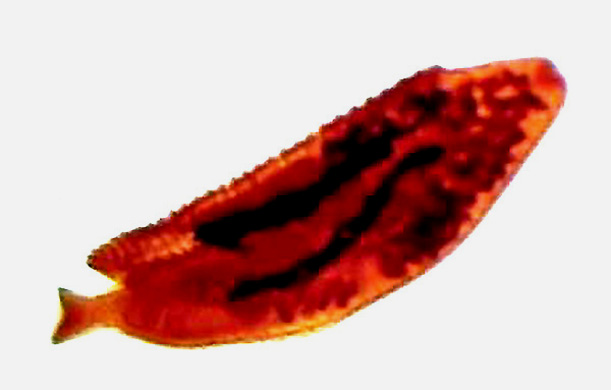 паразиты Неодерматы