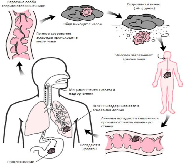 Механизм инфицирования аскаридами