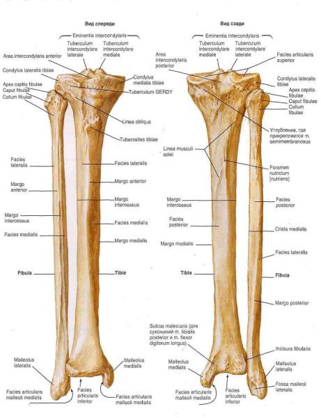 Берцовая кость – часть периферического скелета голени