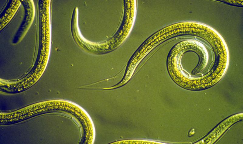 глисты круглые черви