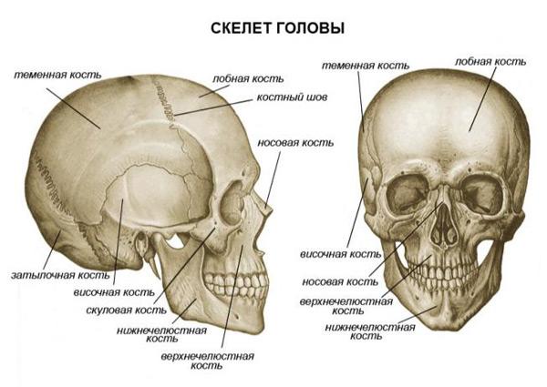 Череп выполняет защитную функцию для нашего мозга и органов чувств