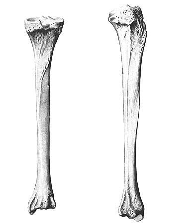 Строение большеберцовой кости