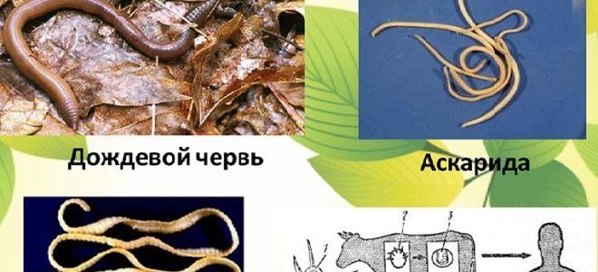 Чем отличаются круглые и плоские черви друг от друга