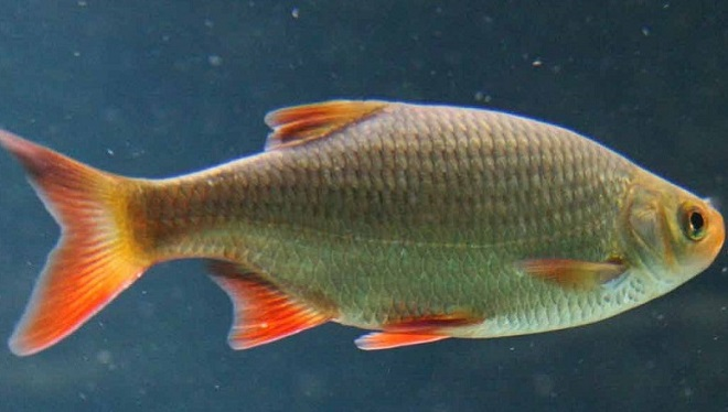 Рыба красноперка переносчик - описторхоза