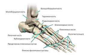 Анатомии и строение костей стопы