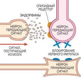 Как устроен рецептор опиоидный