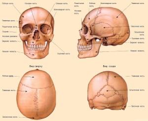 Шовное соединение частей черепа