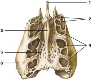 Решетчатая кость пориста