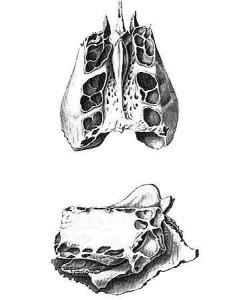 Структура воздухоносных костей