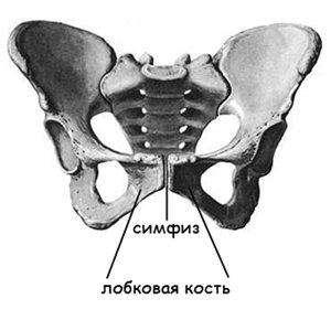 Соединение двух лонных костей таза по срединной линии