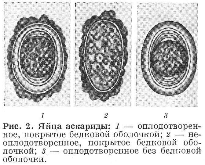 Яйца аскариды