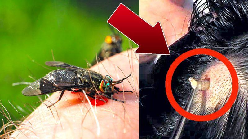 как овод откладывает личинки