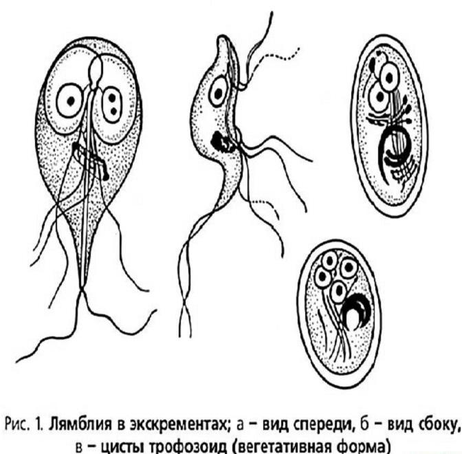 Две стадии паразитирования лямблий