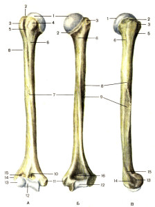 Скелет свободной части верхней конечности