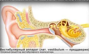 Вестибулярный аппарат при укачивании