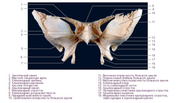Устройство клиновидной кости
