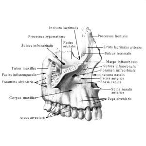 Верхняя челюсть является составляющей частью лица и полости носа